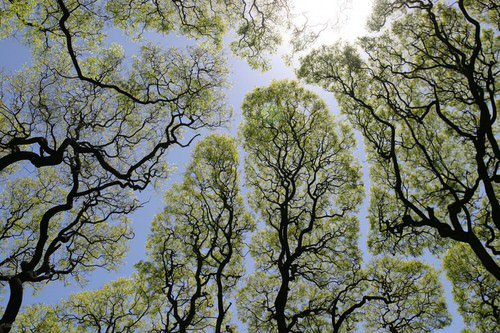 Crown shyness ou de la timidité des arbres