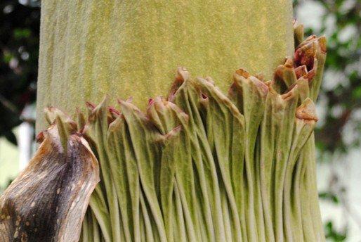 Coulisses de l'été  : une fleur rare au Jardin botanique de Bordeaux