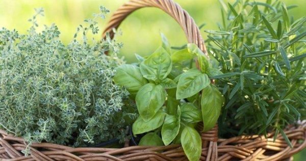 Un peu d'exotisme québécois   :D   : La récolte des fines herbes...