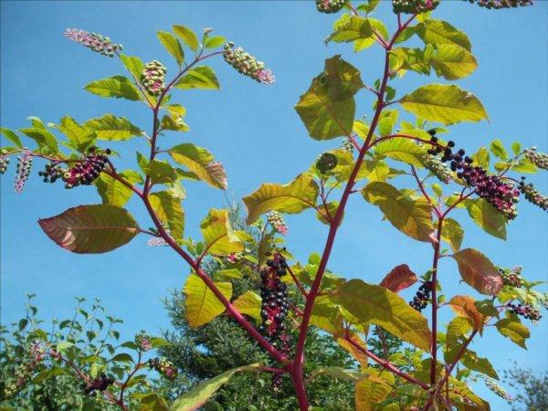 Les Brindherbes Engagés : Eliminons le Phytolaque : le raisin d'Amérique