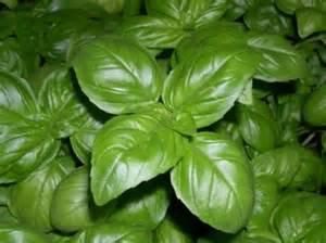 Les  plantes aromatiques et les LED