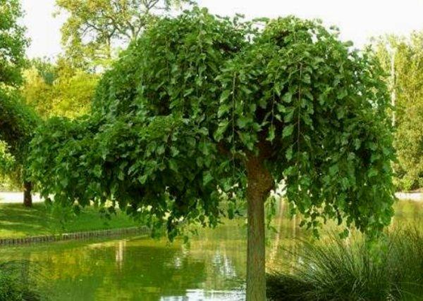 Les plus beaux arbres à port pleureur