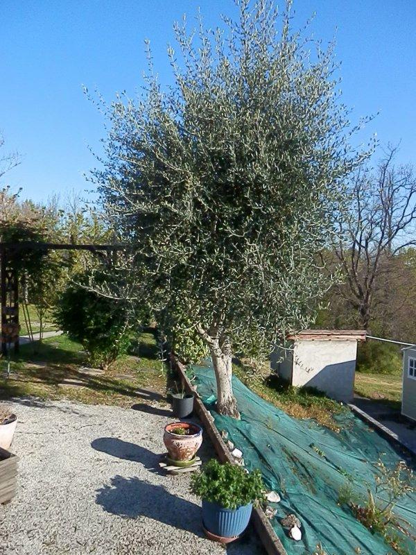 C'est le moment de tailler les oliviers !!!