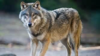 Personne ne s'attendait au miracle que les loups allaient engendrer....