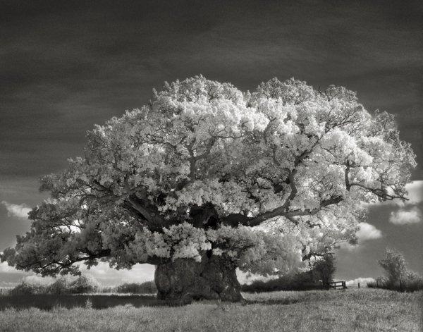 Les arbres anciens et majestueux de Beth Moon