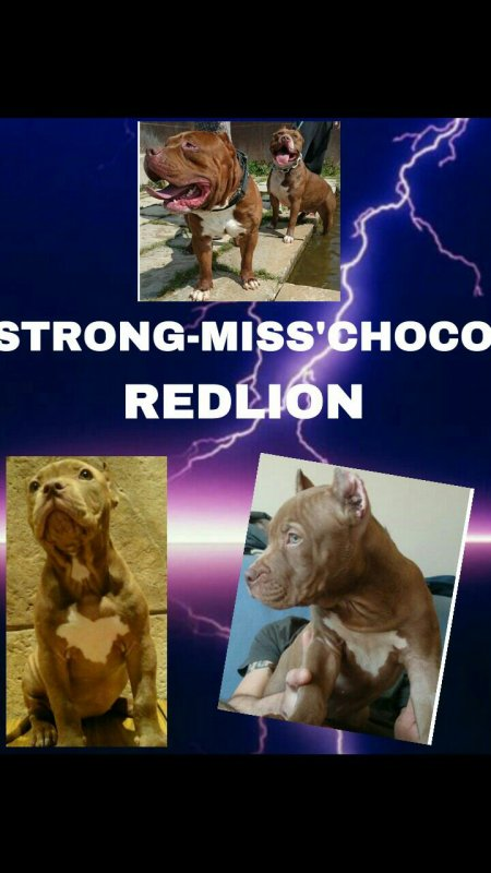 STRONG-MISS'CHOCO REDLION X 2 STÉROÏDE