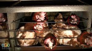poules élevés en batterie : scandaleux !