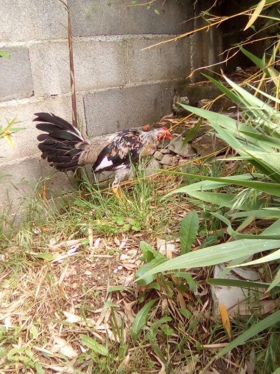 Encor le gallino