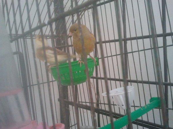 ma femelle canari