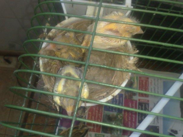 mes canari de 17j
