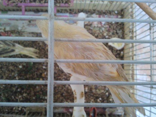 mes canari née en dicembre 2012