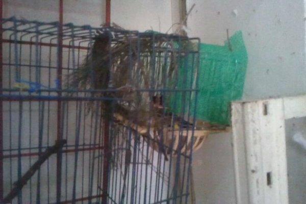 Ma femelle chardonneret née en captivité
