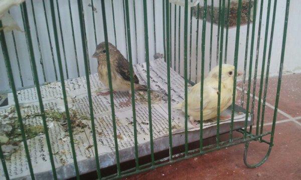 Toujours le hybride et la canari