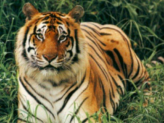 Un tigre tros beau