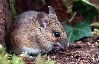 souris mulot finest cliquez sur les images pour les agrandir with souris mulot great de souris. Black Bedroom Furniture Sets. Home Design Ideas