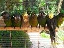 Photo de oiseaux-vacquiers-31