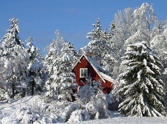 Sapins sous le neige