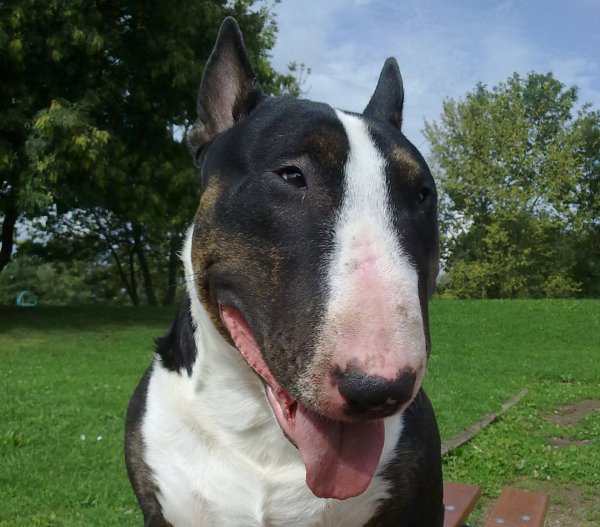 Denzey, Mon Bull Terrier