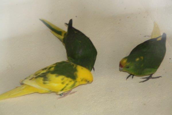 perruche à téte d'or MOTTLE  (kakariki front jaune mottle) nouvelle mutation