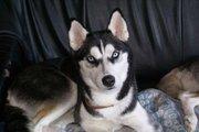 mon ancien chien laika