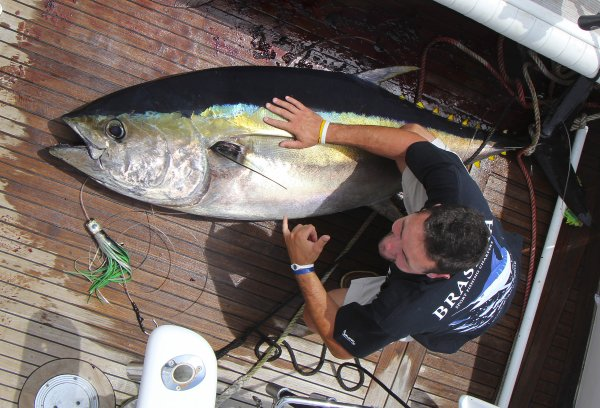 Brasilia Azores Back home after a nice small trip in Horta for 4 july. No luck for us.When Brasilia hook up , during 15 minutes exciting on the boat we think about a big marlin who crash first the teaser before to be hooked. Unfortunately ,it was finally a tuna, 262 ibs bigeye, 119kg.Thank you to Bill and Jeff out of Boston fishing with us. Good signs for our season 2013.
