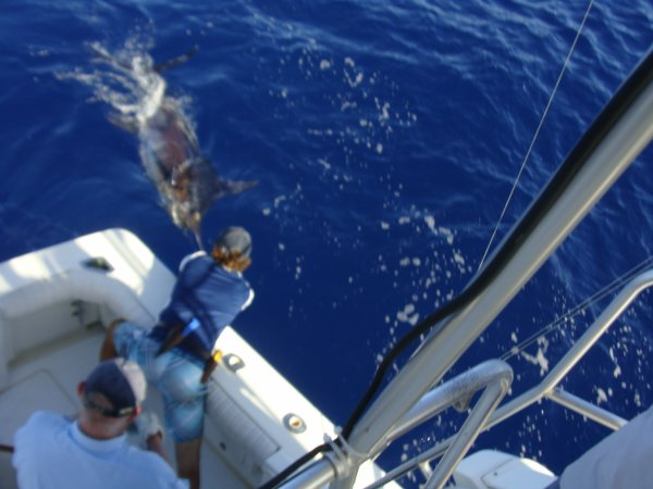 Report of the 11 august 2013 ----------------------------- Today is our day, Nola released a 300lbs and a 500lbs on Condor bank. Happy clients Paul South africa, Nehl Florida and friends. Two fish unluckily tail wrapped. Need to help the two to oxygen them and the two released finaly in good shape.