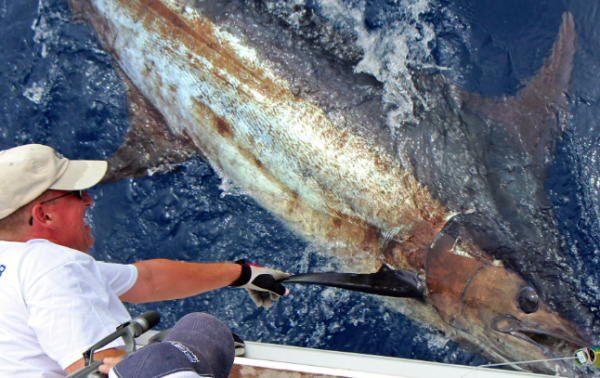 Report of the 16 august 2013 ------------------------- Brasilia and Nola are on Condor bank, nice weather. Our happy clients from Germany are very happy realed a 550lb blue for the last day.Nola released a 250lbs ,pull the hook on the same and released a nice mako of 100kg.