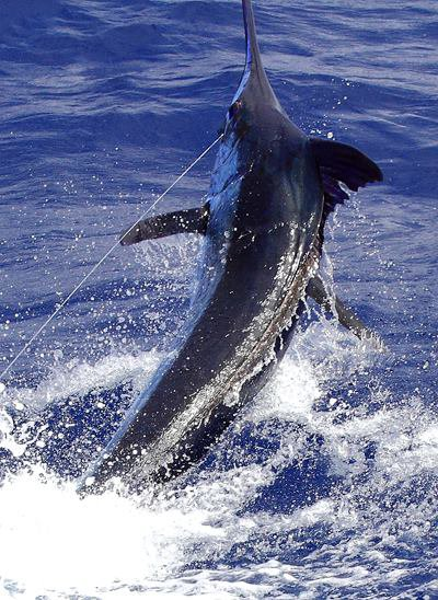 Report of the 22 august 2013 ---------------------------- Xacara on Condor released the only blue caught, a nice 700lbs.Happy angler David from USA. Makaira, one white. One other 700lbs reported in the north side of Faial.