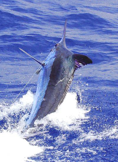 Report of the 23 august 2013 -------------------------- Xacara and brasilia on Azores bank: Brasilia: 3 white marlins Xacara: 250lbs blue marlin Nola and Makaira on condor: Nola :0/2 on blue, two fish with the hook around the bill, no luck. Makaira: released a nice 650lbs, happy angler Hein from Holland. Photo :Hein (Go pro)