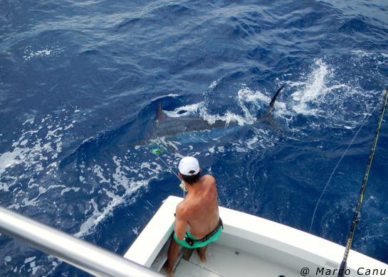 Report of the 28 august 2013 -------------------------- Brasilia, Makaira, Nola on Condor today. Makaira: 2/3, released 2 nice blues, 500, and 550lbs with very nice fights. nola released a 550lbs , Juha and Vlad happy anglers. Brasilia in bait and switch lost a nice fish.