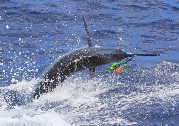 Report of the 15 september 2013 ------------------------------- Windy and rainy on Condor for the 4 boats fishing there. All the day, baits and marlin stay in deep water. That's just around 5 pm that Nola hook up with a very,very big marlin.Unfortunately,we have had one accident due to very bad sea conditions, when our client takes the rod he slips and fall,in the movement drag goes off. Normal result ,we broke the line. Very said after a difficult conditions fishing day.That's fishing... Photo: Olaf Xacara