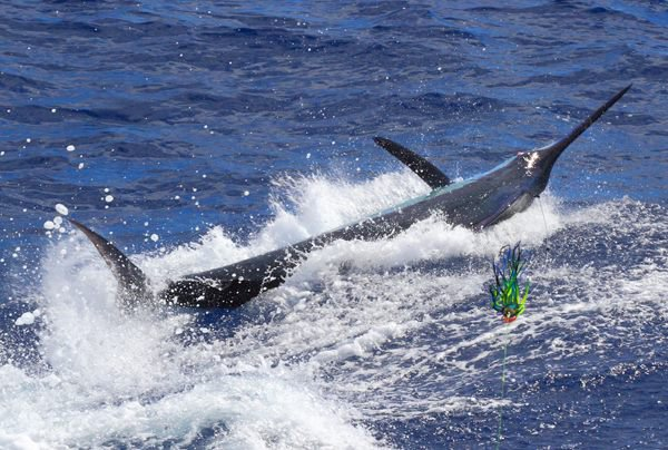 Report of the 16 septembre 2013 ------------------------------ Xacara and Nola on condor,Brasilia holliday. Nola pull the hook on a blue marlin and released a white. Xacara see a nice blue but din't eat. Tomorrow is another day with the Finland team Reijo and friends.