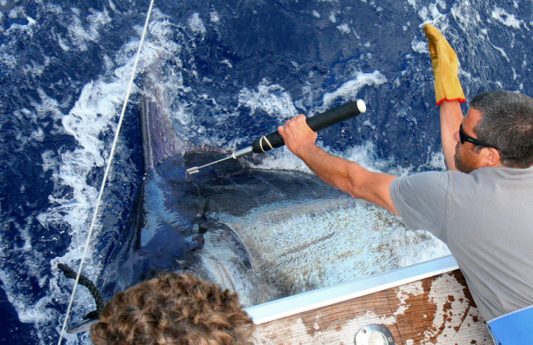 Program tags for blue marlin on Brasilia