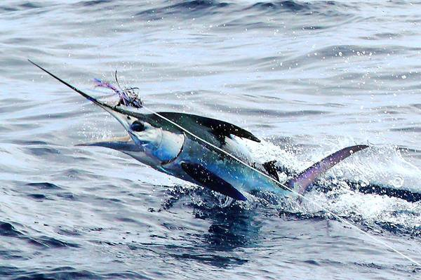Report of the 18 septembre 2013 ------------------------------- Xacara and Nola on Condor,  one white released by Nola. A small  private boat of Pico hook up with a blue just in front of our boat. Azores bank, tunas bigeyes and yellowfin.Tomorrow another day.