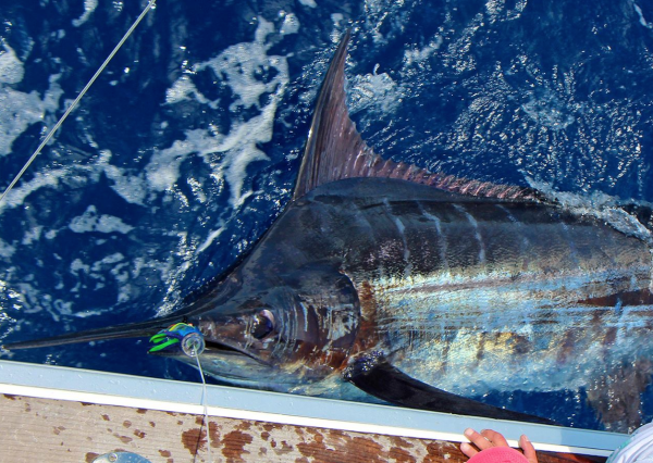 Hi everybody, this nice photo of a blue released on Brasilia just to let you know that booking are open for 2014 on our new boat ,Bertram 31, we do a very good price for booking in august 2014, send me a mail: Louis :marlin.be@skynet.be