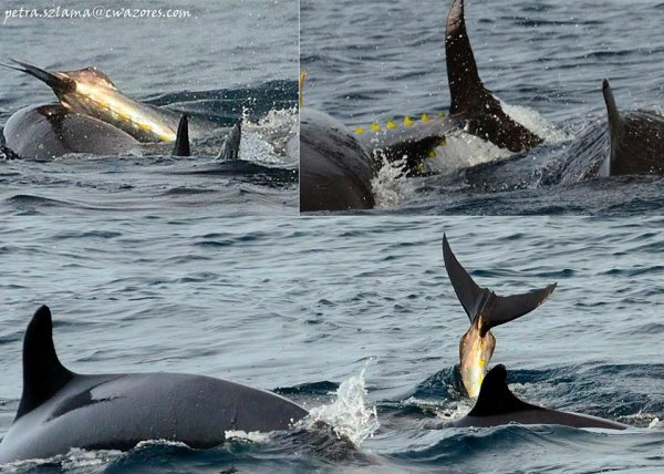 Good signs for 2014 season in Azores. Have a look on nice photo of yesterday , tunas with dolphins near Pico and Horta.Some good dates available on Makaira for tunas season in may.