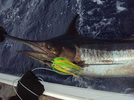 Report of the 30 july 2014 --------------------------------------- Best to resume is the report of our client Aaron:Attached is a photo of today's release, another blue marlin! The Captain called this one at 300 pounds. Weather continued to be a challenge today, but we once again made the most of it. And by the way, I am so sore at this point--my legs, back, arms, etc. all hurt--a sign of a good fishing trip! Xacara:1/1 white Nola: 0/2 white