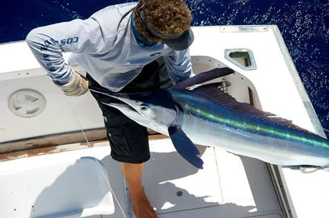 Report of the 13 august 2014 -----------------------------------------------Very nice sunny weather today on Azores bank,fishing was slow with only whites reported by the boats, 2 or 3 whites per boat on 10 lost. Brasilia has a strike by a blue marlin about 400lbs . The tunas of testerday don't show up. It's for tomorrow