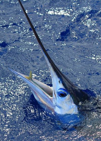Brasilia Azores Il y a 4 secondes Report of the 18/08/2014 ---------------------------------------- Nice weather and nice fishing day on the north side. All the boats are fishing there and it's Xacara who caught a blue marlin of 700lbs and whites. Nola end of the day hook up with a big his ble marlin,unfortunately pull the hook some meters of the boat, hook around the bill.Photos of Olaf with his blue marlin , whites and the fish of Nola jumping. (4 photos)
