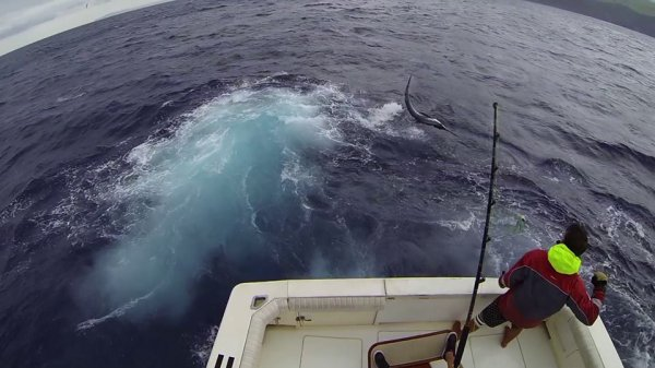 Report of the 28 august 2014 --------------------------------------------- Windy today, fishing north side of Faial. Brasilia and Nola whites and it's Xacara who released today the big blue, 750lbs. Hope to have the nice video done soon. We are waiting for the photos of the 600lbs+ released by Nola yesterday Big fish are around Horta Azores now. J'aime