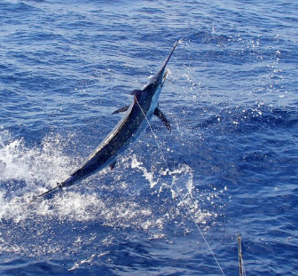 Report of the 16 septembre 2014 ----------------------------------------------------- Windy conditions , Brasilia and Xacara need to fish in the protection of the island and It's Brasilia who released a 650lbs in the south of Pico. Congratulation to Nick who released this nice blue marlin.