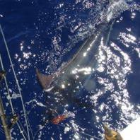 Report of there 20 and 21 september 2014 ------------------------------------------------------------------ Suddenly the weather turn very well and Brasilia decided to fish very south Azores bank, they finder activities with skipjack and after one bite and no hook up . Finally, they released a blue around 400 lbs.