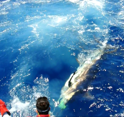 Report of the 25 june 2015. La Gomera. ------------------------------------------------------------Today will be a memory day. Just arriving on the fishing area, its with a blue about 400lbs hook up , the fish came 7 times and try all the lures and teasers. finally hook up, unfortunately we pull the hook just 1 meter before the leader.Two hours later, a monster blue takes the short Bonze Vulcano and after a fight more then 1 hours and half time full drag, Claudia released her first blue ,a biggy estimated at 900lbs. Super fight. We finished the day by a hook up but pull the hook after some meters. Congrats Claudia and Raph very nice fish. Around 7 blues released today in San Sebastian waters.