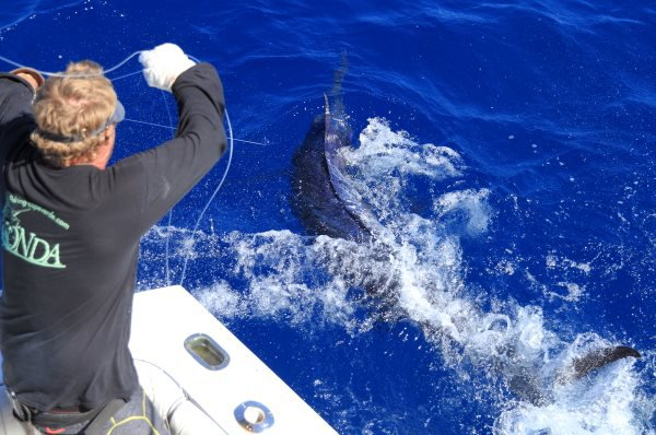 Xacara Azores 31.07.2015 Very Good Blue Marlinfishing on the Condorbank today !!! We caught a 300 pounder that came in on the Blackbart Blue Breakfast. We also caught some small Dorados and had a bite of a white marlin. Brasilia caught a 500 pounder lost 3 more up to 700 pounds and raised one more. Habitat caught a 500 pounder as well and missed one and raised one more . Two double headers today !!! — avec Marty Bates et Brasilia Azores, à Marina da Horta.