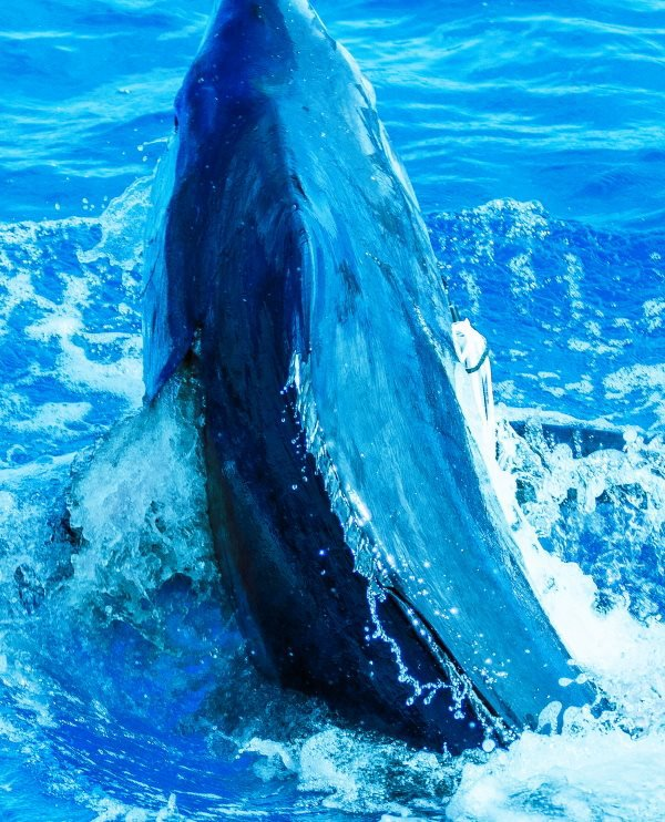 """Report of the 18 august 2015 -------------------------------------------- That's the turn of Makaira to released a blue 450lbs. Lucky Henk and friend . They do to a 0/3 white marlin. Photo arrive later. Photo down the 950+ of """" days ago"""