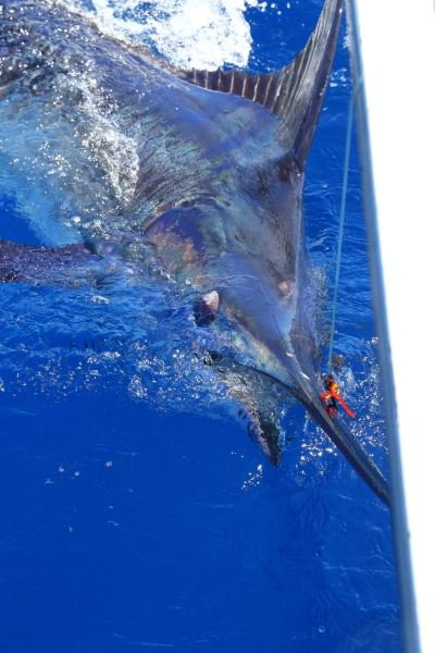 Blue caught yesterday on Xacara