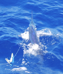 Report of the 20 august 2015 ---------------------------------------- Still a very nice day on Condor, perfect weather and calm sea, first ,it's Brasilia who open the releases with a blue marlin size 350lbs. Nola was return in the fishing party after 3 days of maintenance, and our 2 motivated dutch anglers Peter and Frans are very happy to released a blue 350lbs for Peter and a white for Frans.Congrats my friends.