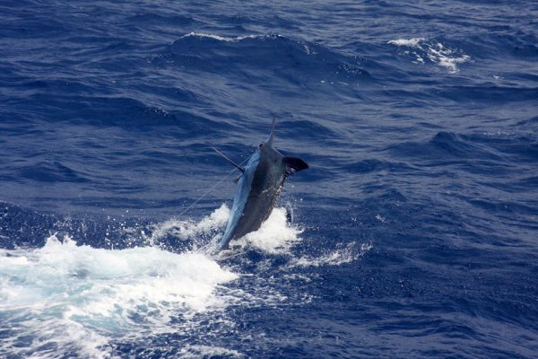 Report of the 23 august 2015 ------------------------------------------ For sure the big mamas are here in Horta Azores.Today , Xacara starts the day with a fantastic fight with a blue they call 950+ (certain it was a grander) they released the fish.Johnny Mack is the boss,super fight on the chair. Just after ,Nola has a double heater with big blues, I saw one of the two and was same size as yesterday (900lbs) ,unfortunately pull the hook one after the second.Brasilia just after hooked up with a big blue estimated at 700lbs then released. Message to all anglers, come fishing with us in Horta, the big girls are here, we have some possibilities for late booking. Incredible ,Olaf has have no possibilities to do photos cause big hard fight.