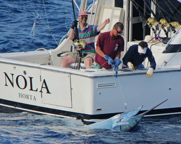 Report of the 24 august 2015 ----------------------------------------Last day of perforce weather before some wind. Xacara released a 600lbs on Condor,nice photos or video are arriving. Makaira released a 350lbs blue marlin and Nola a white. Photo of the white, other photos are arriving soon.