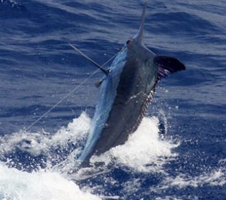 Report of the 12 september 2015 ---------------------------------------------- Today on Condor, Paty with Capt Zak released a 400lbs, Makaira raised a nice one but no hook up. Some knock down from Dorado or whites for the rest of the fleet.Tomorrow is another fishing day.